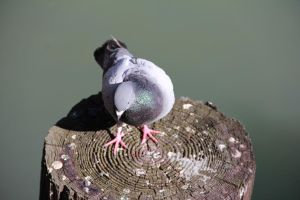 Pigeon 2 by Chocomix-Stock