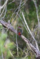red browed finch 3 by StrayShadowXD