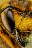 European Wool Carder Bee VI by dalantech