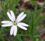 Field chickweed by SymphonyXRM