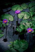 - Waterlilies - by Prometheus1706