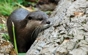 Asian Small-Clawed Otter 005 by The-Long-Shot