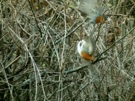 two wee robins fight by harrietbaxter