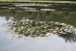 Lilly Pads by tigpc