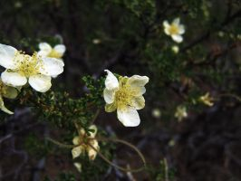 Bright Cliffrose II by DailyB