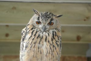 Asian Eagle Owl by Somnp