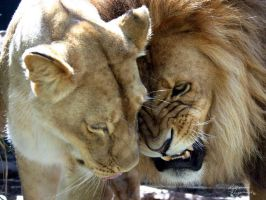 LION LOVE by amorphouskat