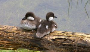 Common Goldeneye Ducklings by borbor