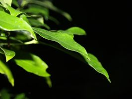 water on leaves 1 by Irie-Stock
