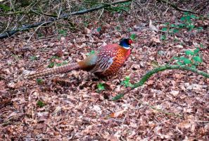 Pheasant by iriscup