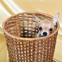 The smallest breed of dog I by MotHaiBaPhoto