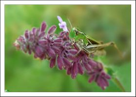 great green bush-cricket by Viand