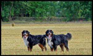 2 Bernese Mountain Dogs by XFarinX-net