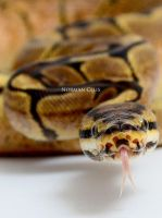 Spider Ball Python by basticelis