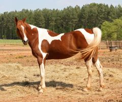 chestnut saddlebred 10 by venomxbaby