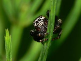 jumping spider4 by nature-photoLT