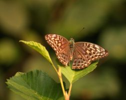 Silver-washed Fritillary by DeingeL