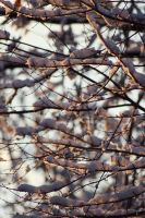 Winter Branches II by xXCold-FireXx