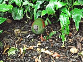 Belfast Zoo-Crested wood partridge by GrafixGirlIreland