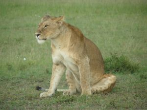 Lioness stock 8 by Aqua-Stock