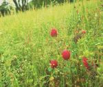 Red clover by Kilre