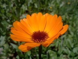 Orange little flower by bogdanpopa