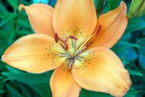 Orange Asiatic Lily 1 by racheltorres921