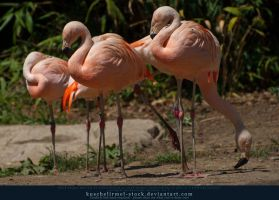 Flamingo 04 by kuschelirmel-stock