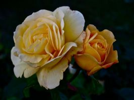 Yellow Roses by gee231205
