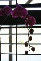 Orchid by Light by sapicklez