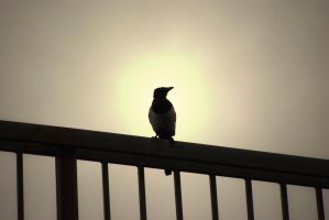 Magpie Silhouette by s-ense