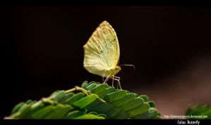 Colias Butterfly by Jimmasterpieces