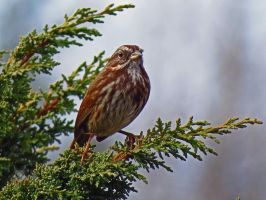 Sparrow Within Branches by wolfwings1