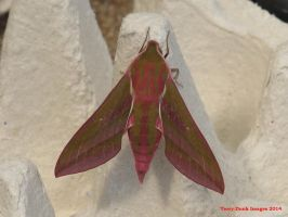 Elephant Hawkmoth by Terrydunk