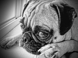 Sensitive Pug by garnettrules21