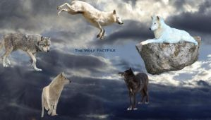 Wolf Factfile cover by Wolf-Tracks