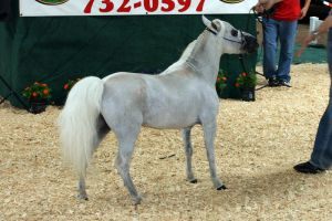 Grey Mini Horse Stock by GloomWriter