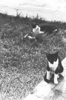 Black and White cat by ad-lucem