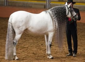 STOCK - 2014 Andalusian Nationals-168 by fillyrox
