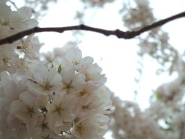 Cherry Blossoms of DC: Part 2 by JennHolton