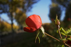 Rosa y Capullo by SuperStar-Stock