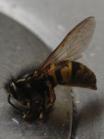 Wasp in the kitchen sink by Princess-Amy