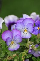 Violas by bydandphotography