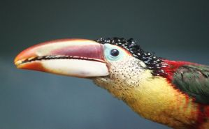 Aracari Toucan by animalvr