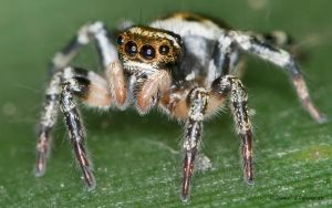 Jumping spider by dllavaneras