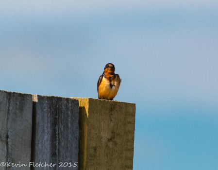 Barn Swallow by sgt-slaughter