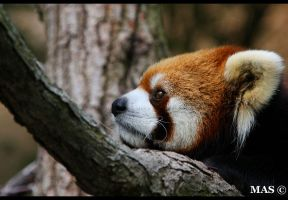 Red Panda_3591 by MASOCHO