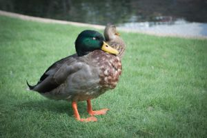Duck by Swaptrick