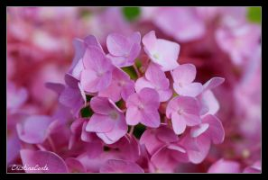 Pink series 2 by Cristinaconte
