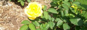 Bright Yellow Rose. by KristineAdelia